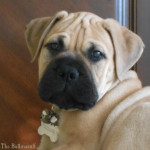 Flower The Bullmastiff Desktop Backgrounds
