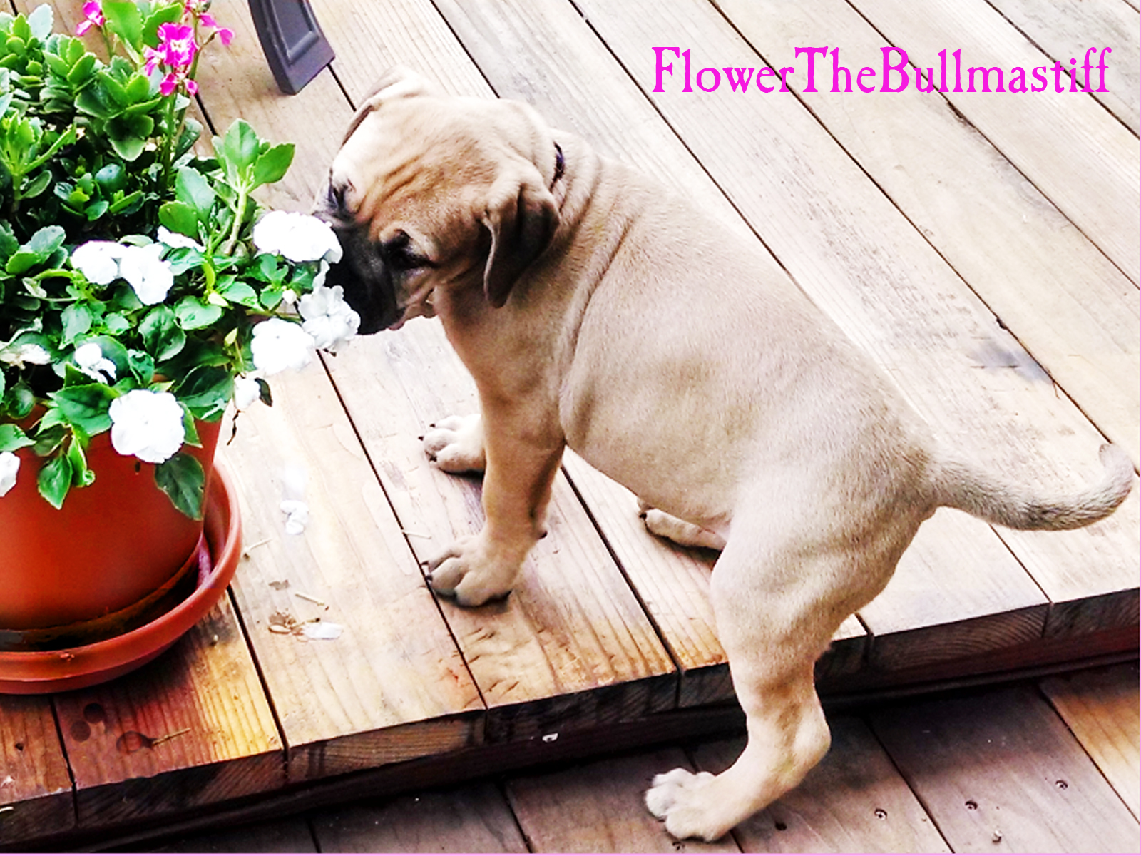 Flower The Bullmastiff - Taking time to smell the Flowers 1600x1200